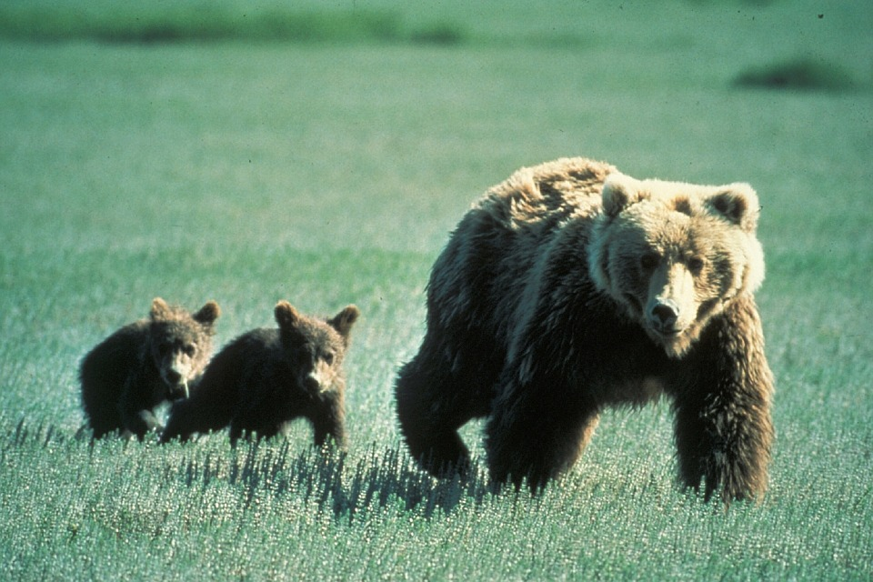 bears-718382_960_720
