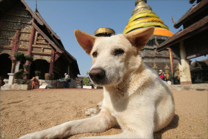 Dog by Thailand Temple
