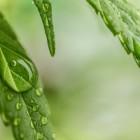 cannabis-1062904_960_720