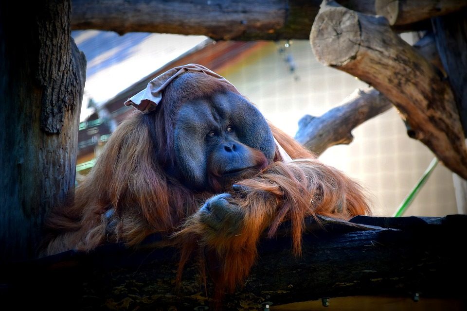 Indonesian Zoo Criticized for Smoking Orangutan